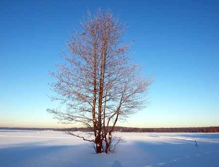 Birch tree on the frozen lake shore         photo