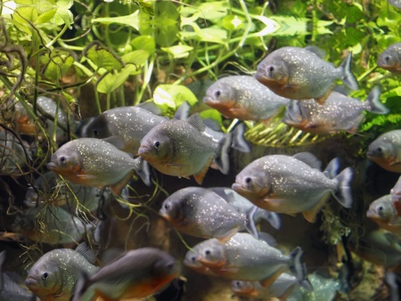 Piranha      photo