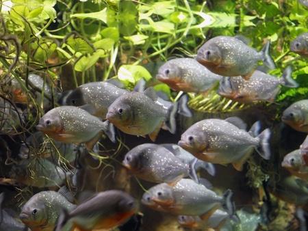 Piranha Stock Photo - 12431296