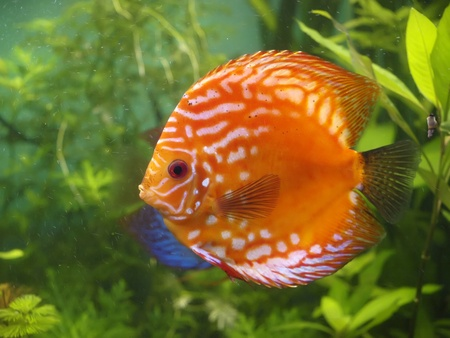 Symphysodon discus  photo