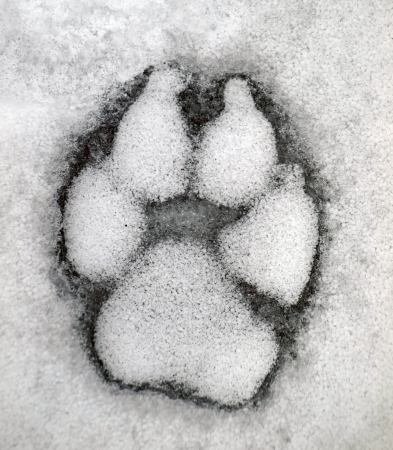gray wolf: Dog track on the snow       Stock Photo