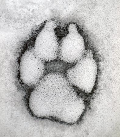 single track: Dog track on the snow       Stock Photo