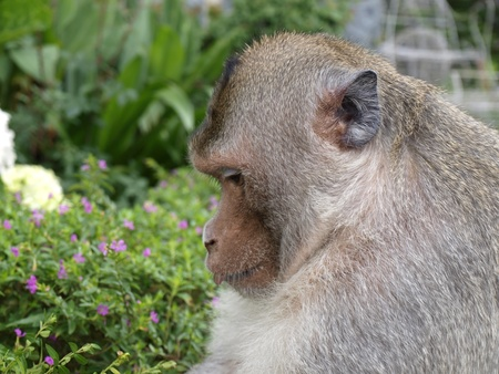 Portrait of the big monkey        Stock Photo