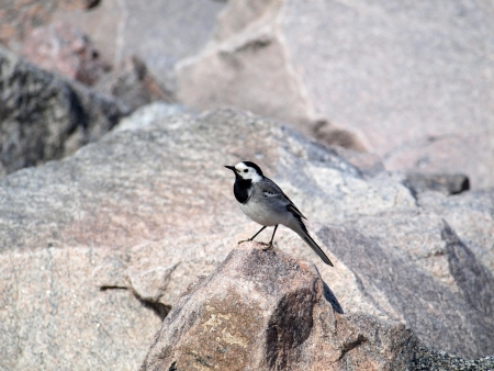 Wagtail bird     photo