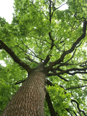 bark: Green oak tree