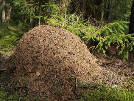 Anthill in the forest     photo