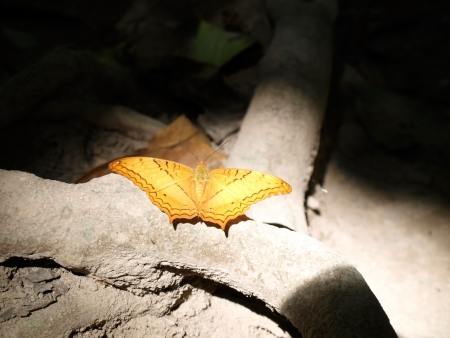 Rare frame- Orange butterfly in sun beam (Common Cruiser, Vindula erota) in dark place under the tree  Stock Photo - 17225798
