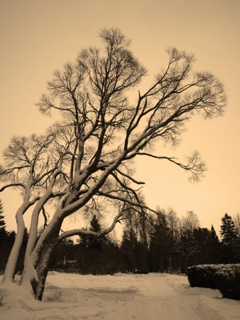 solemn land: Sad weeping willow tree