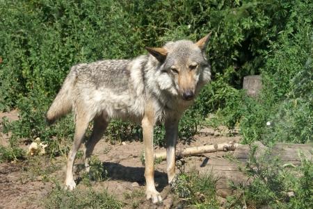 jawbone: Wolf outdoor