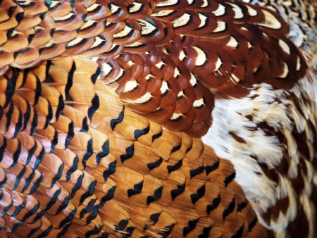 Many-coloured feathers of the pheasant. Picture can be used as a background