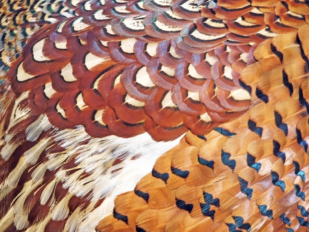Many-coloured feathers of the pheasant Picture can be used as a background Stock Photo