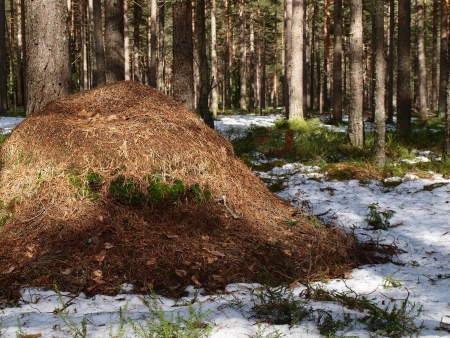 bustle: Anthill in the forest    Stock Photo