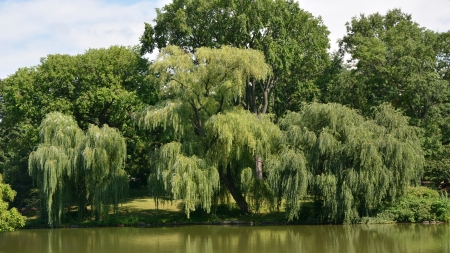 Weeping willow tree in Central park photo