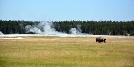 Buffalo on the meadow  Yellowstone national park photo