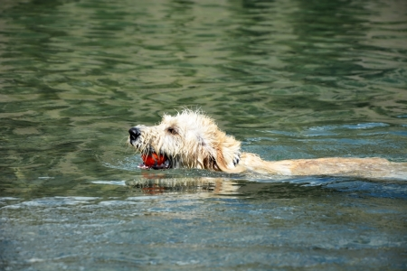 Swimming Labradoodle poppy photo