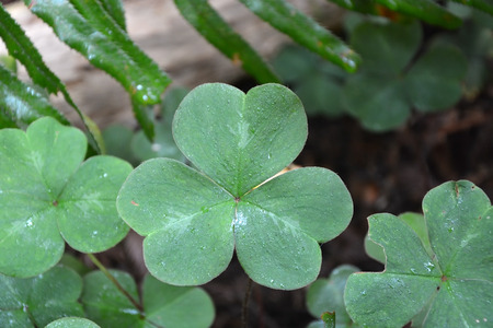 Oxalis leaves photo