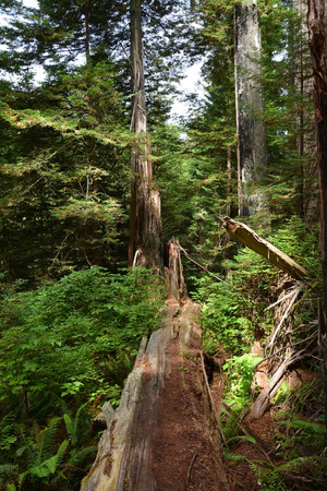 Redwoods forest national park photo