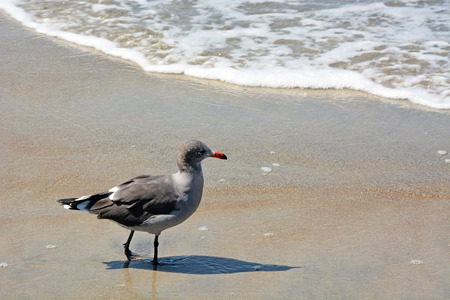 Seagull on the Pacific ocean shore photo