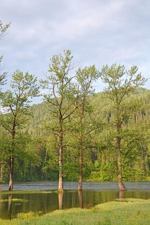 arbol alamo: R�o de la monta�a y el �rbol de �lamo Foto de archivo