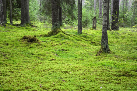 Forest with green bright moss photo