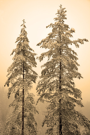 Two high pine trees at the hill. Sepia toned photo