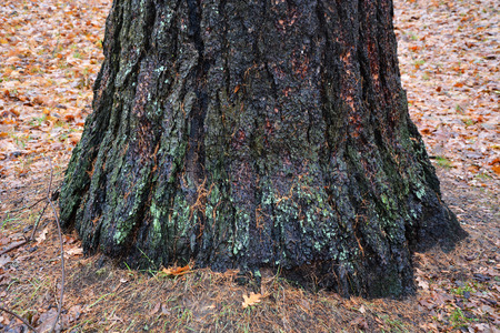 Trunk of the big silver fir tree Stock Photo