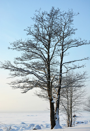 Single winter maple tree. Winer scene