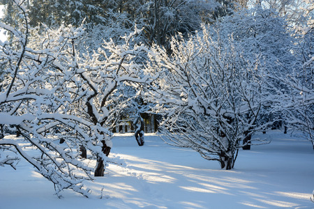Apple trees at the garden at winter season