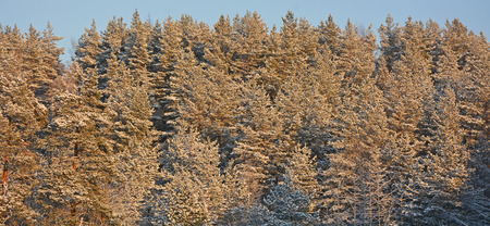 Winter forest with evergreen trees
