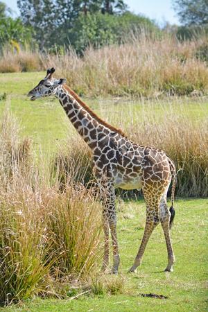 Big giraffe in the wild Stock Photo