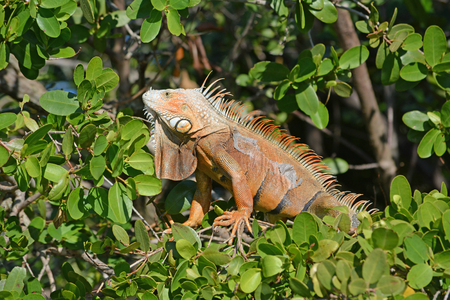 Adult Iguana male warming in the sun in the dense mangrove forest