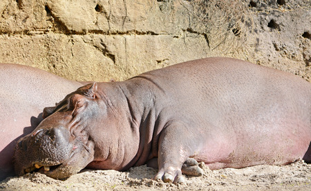 Big and funny sleeping hippo Stock Photo