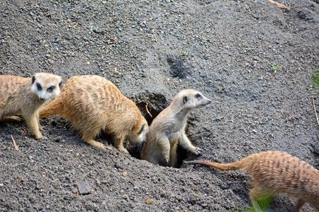 Group of funny meerkats