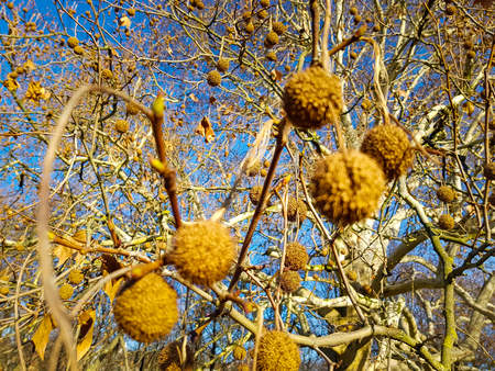 Close up of fruits of the plane tree in spring covered in golden sunlight, a big plane tree and the blue sky in the background