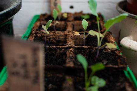 Close up di verdure coltivate in casa - cavolo rapa - nel cortile sul retro