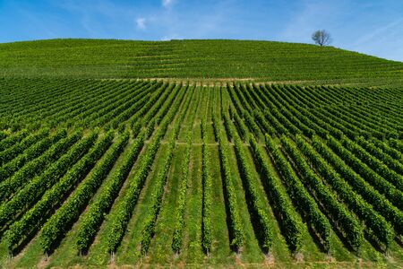 Accurate straight of a vineyard on a hill, the blue sky and a lonely tree on the top - agriculture - angled view 写真素材