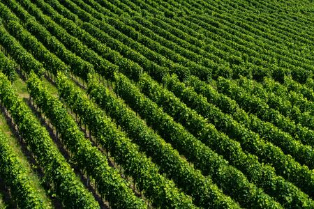 Accurate straight of a vineyard leading from one corner to the other- agriculture - angled view