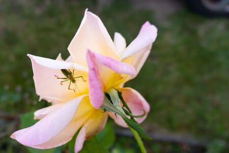 A green grasshopper on a rose flower head - close up