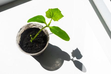Seedlings of cucumber on the windowsill. Selective focus. Cucumber seeds. Gardening
