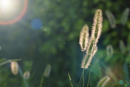 unrequited love: Setaria viridis significa: perseverancia, no entendida, duro amor, amor no correspondido Foto de archivo