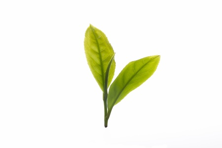 Close up fresh tea leaves on white background photo