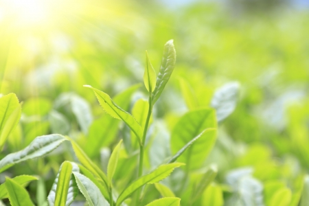 bush to grow up: Close-up green tea bud and leaves in Tea plantations