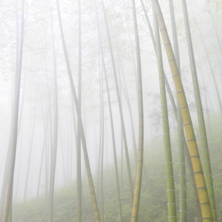 asian bamboo forest with morning fog weather photo