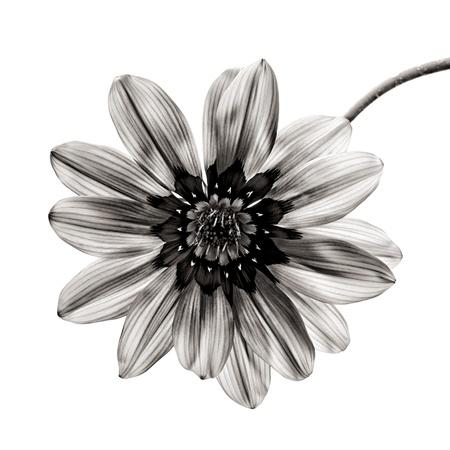 fleur en noir et blanc sur fond blanc Banque d'images