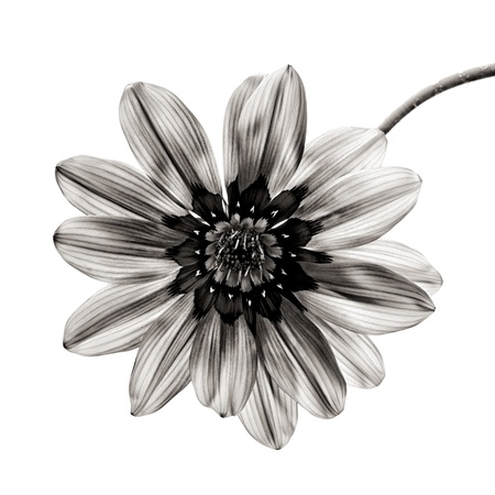 black and white image: flower in black and white on white background  Stock Photo
