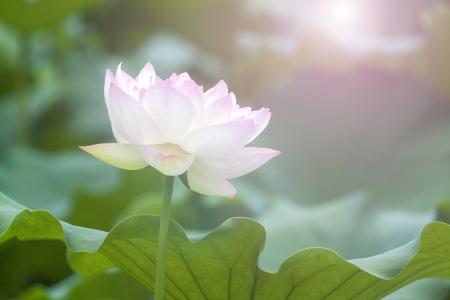White lotus flower among green foliage