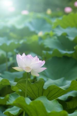 jardines con flores: Blanca flor de loto entre el follaje verde