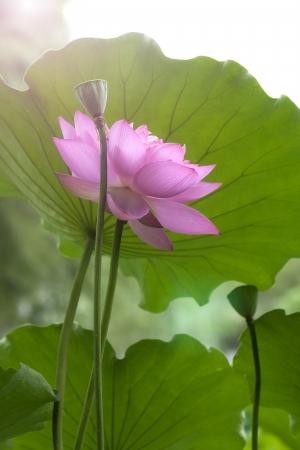 Pink lotus flower among green foliage