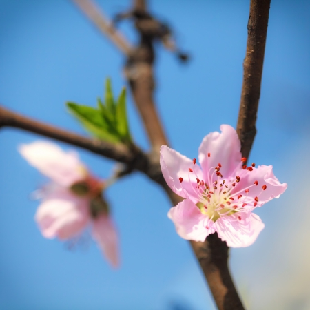 Pink plum blossoms under blue sky Stock Photo - 18095937