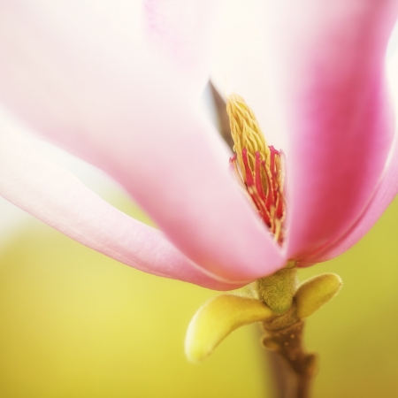 Yulan Magnolia  Petal Background Stock Photo - 18095940